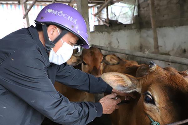 Ninh Bình: Thêm 30.000 liều vaccine nhập ngoại, tiêm phòng viêm da nổi cục cho trâu bò xong trước 15/5
