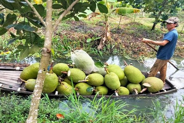 Giá mít Thái hôm nay 7/5: Vì sao anh nông dân Tiền Giang đốn 1.000 cây mít Thái trồng ổi Đài Loan, giá mít tăng?