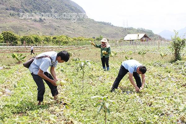 Sơn La: Trồng 2 giống dưa bò lan mặt đất, vừa thơm vừa ngọt, dân bản này nhẹ nhàng bỏ túi 3 tỷ đồng/vụ