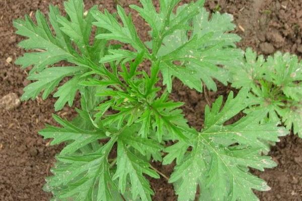 Thật bất ngờ: Loại rau ở Việt Nam mọc đầy vườn có hoạt chất chống virus COVID-19 rất mạnh