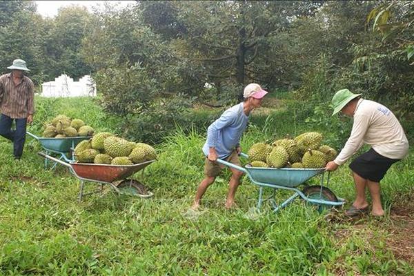 """Vì sao giá sầu riêng đầu mùa tăng cao, nhưng niềm vui của nông dân ở nơi này """"bị trừ"""" đi 1 nửa?"""