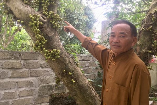 Chuyện lạ Ninh Bình: Cây sung mọc quả chi chít nhưng không ai dám hái ăn