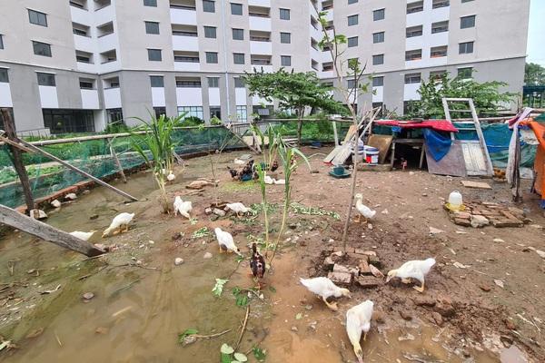 Cám cảnh khu nhà tái định cư ở Hà Nội không một ai ở, xây xong để.... nuôi gà, vịt