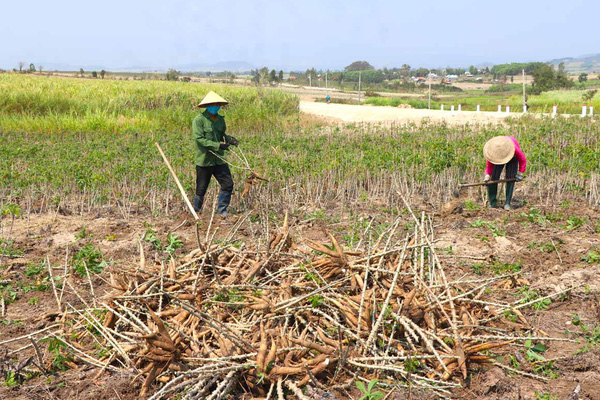 Trung Quốc nhập đến 92% lượng nông sản này của Việt Nam chỉ để trộn vào thức ăn chăn nuôi... cho rẻ