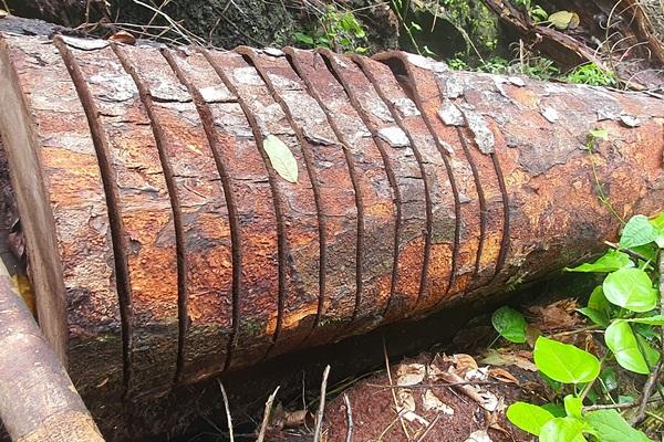 """Cục Kiểm lâm chỉ đạo """"nóng"""" vụ phá rừng quy mô lớn chưa từng có ở Vườn Quốc gia Du Già (Hà Giang)"""