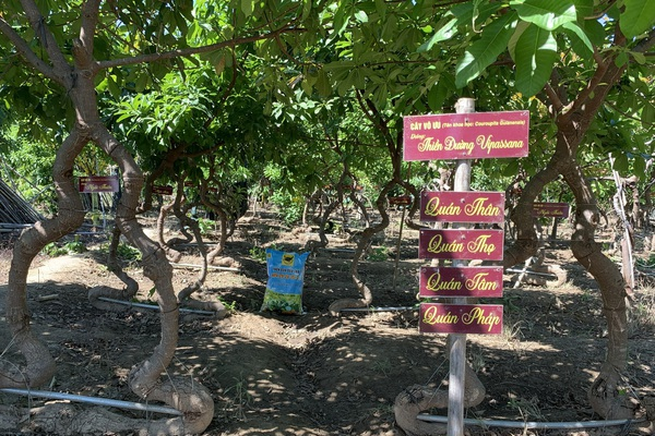 Ninh Thuận: Nông dân trồng vườn cây vô ưu với dáng, thế độc đáo thấm đẫm tinh thần Phật pháp