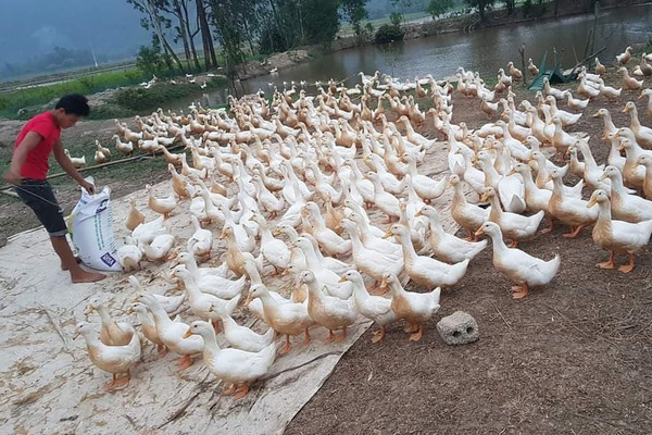 Giá gia cầm hôm nay 18/6: Giá vịt thịt miền Nam giảm nhẹ, gà công nghiệp được giá cao