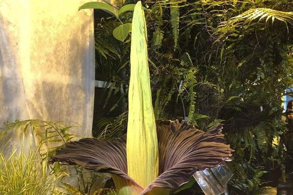 Dần ầm ầm kéo đến chiêm ngưỡng loài hoa khổng lồ 80 năm mới nở bốc ra thứ mùi kinh khủng