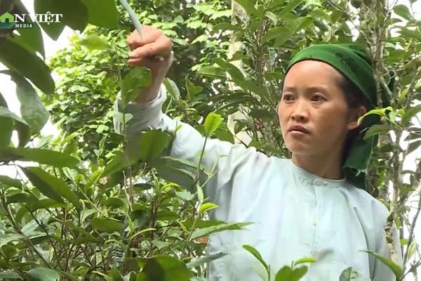 Hà Giang: Bảo tồn vùng chè Shan tuyết cổ thụ Lũng Phìn