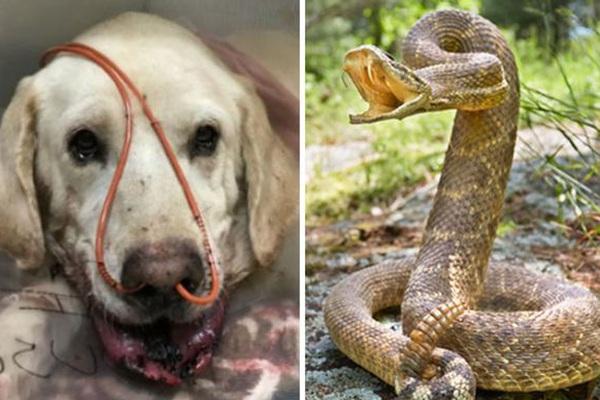 Chú chó labrador dũng cảm chiến đấu với rắn đuôi chuông để bảo vệ chủ