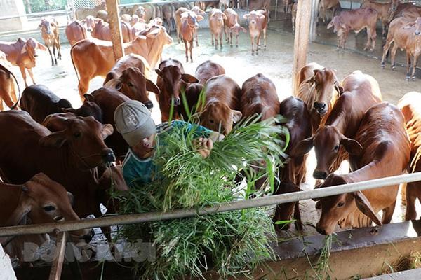 Bến Tre là tỉnh đồng bằng châu thổ, vì sao nông dân ở đây ngày càng nuôi nhiều bò, nuôi nhiều dê?
