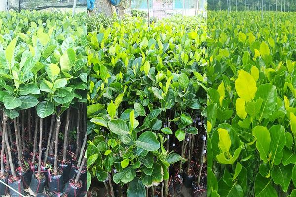 Giá mít Thái hôm nay 24/6: Giá mít giống tiếp tục lao dốc, nhà vườn ươm cây mít giống xoay sở kiểu gì?