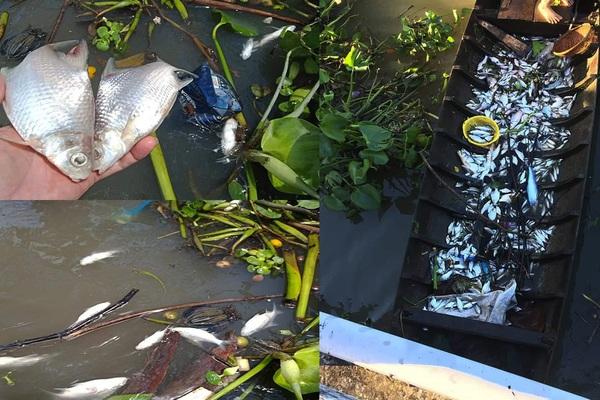 Vụ cá chết trên sông Cần Thơ: Tại sao chỉ chết cá màu trắng, còn cá màu đen không ảnh hưởng gì?