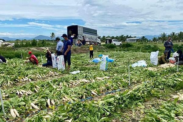 Đứng trên ruộng củ cải càng già càng xấu, anh nông dân tỉnh Bình Thuận bỗng thở phào khi có người xuống nhổ giúp