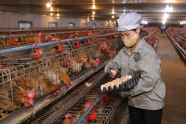 """Bắc Giang: Gà được chăm sóc đặc biệt, ở """"phòng lạnh"""", HTX này bán 1 triệu con giống/năm, thu tiền tỷ"""