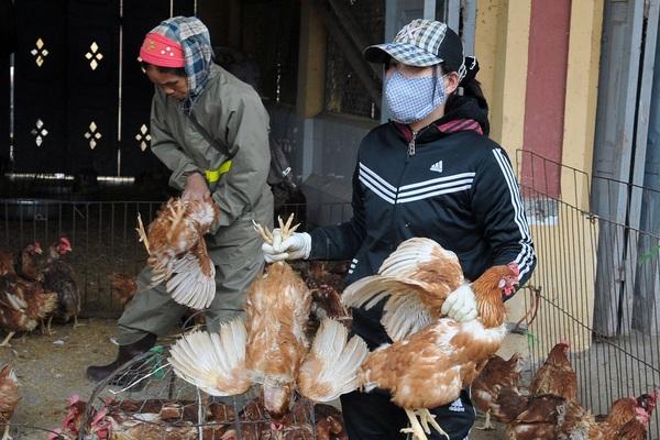 Giá gà thấp kỷ lục,  loại thấp nhất chỉ còn 5.000 đồng/kg
