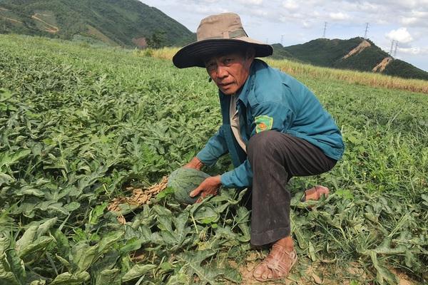 Covid-19 Đà Nẵng: Trồng dưa hấu trái nằm la liệt ngoài đồng, nông dân bán trầy trật