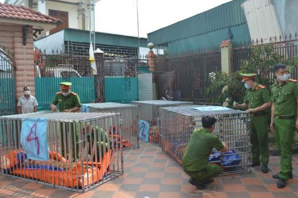 Vụ đột kích bắt 17 con hổ nuôi nhốt trái phép ở Đô Thành (Nghệ An): Chính quyền không hề hay biết?
