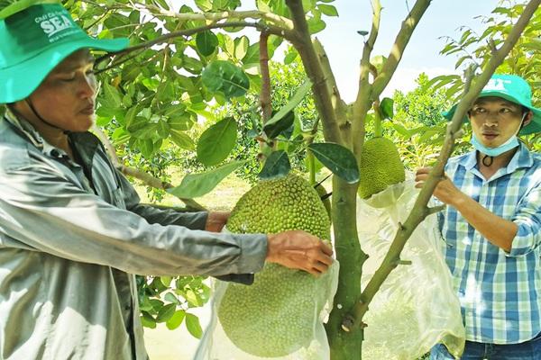 Giá mít Thái hôm nay 5/8: Dịch giã như thế, sao giá mít cứ tăng, còn chôm chôm, nhãn chín đầy vườn không ai mua?
