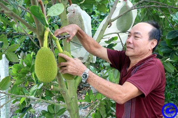 Tiền Giang: Trồng mít Thái siêu sớm, dịch Covid-19 như thế mỗi tháng ông nông dân vẫn thu đều 40 triệu