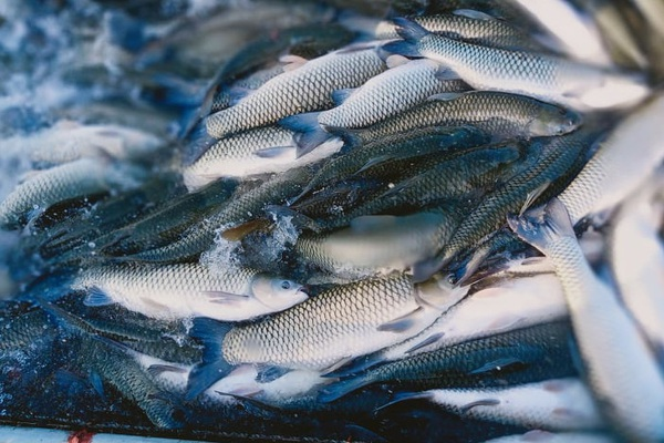 Hải Dương: Giá thức ăn nuôi thủy sản cao ngất ngưởng, cá đặc sản bán rẻ như cho, nông dân khổ
