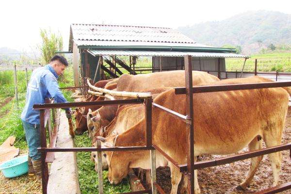 Nậm Nhùn phát triển chăn nuôi đại gia súc theo hướng bền vững