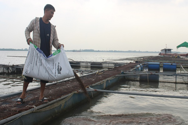 """Nam Định: Cá lồng to lắm rồi mà bán không nổi, nông dân mặt rầu rĩ như """"bánh đa gặp nước"""""""