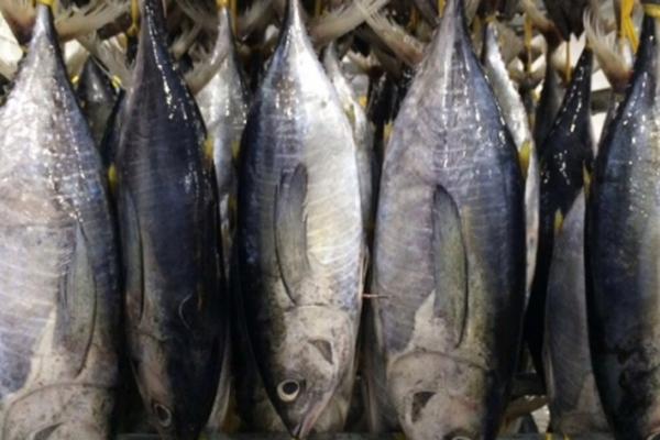Cá ngừ Việt Nam chiếm thị phần lớn nhất ở Israel