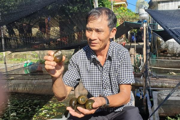 Ninh Bình: U70 nuôi đàn ốc nhồi đông đúc coi như tập thể dục, mỗi tháng kiếm hàng chục triệu đồng
