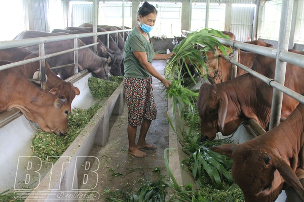 Thái Bình: Nuôi bò, nuôi trâu nhốt chuồng, ở nơi này nhà nào nuôi nhà đó khá giả, nuôi càng nhiều, lãi càng lớn