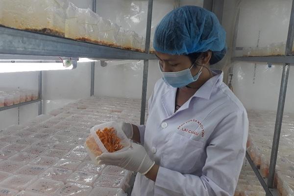 Nuôi cấy thành công nấm đông trùng hạ thảo, 8X tỉnh Lai Châu rủng rỉnh tiền tiêu