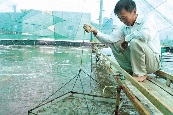 Thái Bình: Nuôi tôm công nghệ cao trong nhà lưới, ông nông dân nuôi đâu trúng đó, nhiều người muốn đến xem
