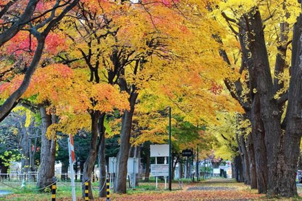 Hình ảnh mùa thu vàng tuyệt đẹp trên hòn đảo Hokkaido