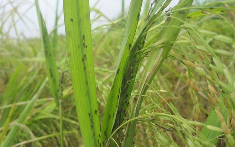 Dòi đục nõn phá hoại trà lúa Đông Xuân