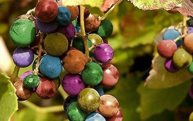 """Lạ kỳ những giống nho có màu sắc đẹp đến """"không nỡ ăn"""""""