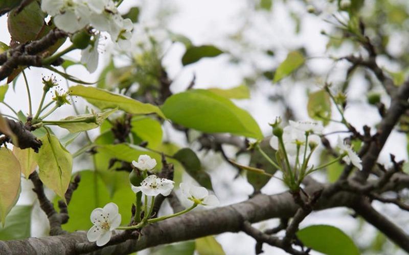 Mùa hoa lê trắng xóa một góc vùng cao lạnh nhất Tuyên Quang