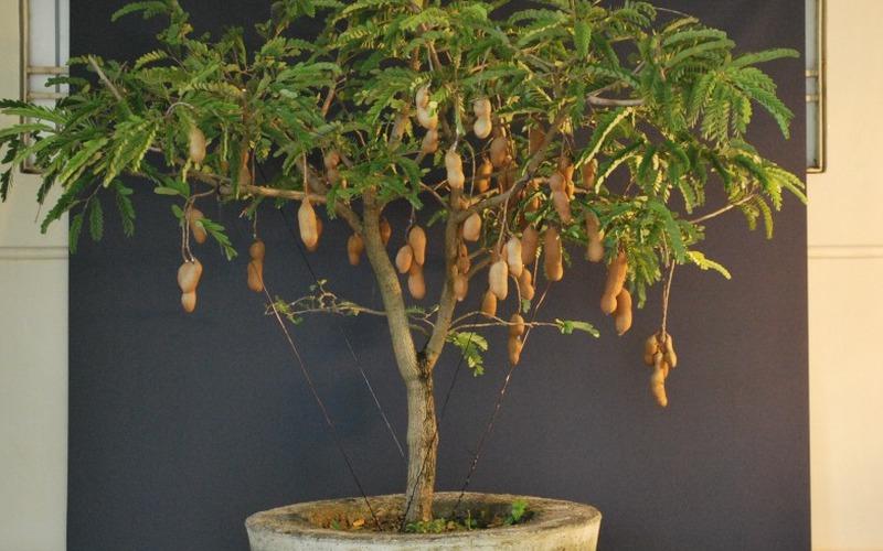 Khéo tay trồng cây me Thái trong chậu cho quả sai trĩu