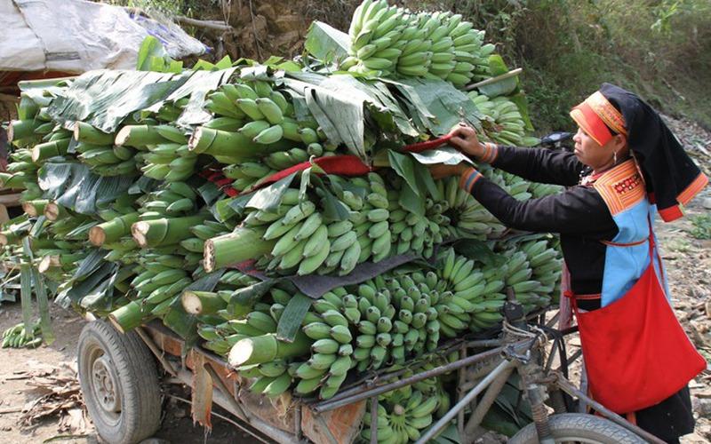 Những triệu phú trồng chuối ở xã biên giới Huổi Luông