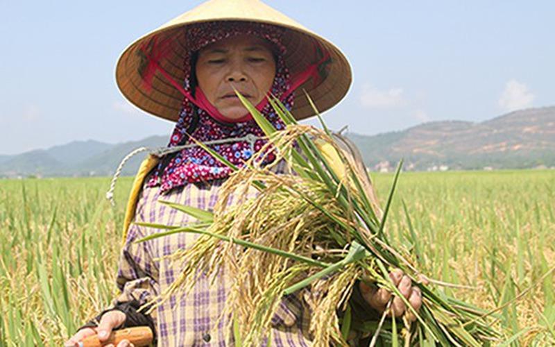Nhiều cán bộ ở Hà Tĩnh bị kỷ luật sau vụ lúa mất mùa diện rộng