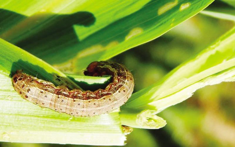 Hiểm họa từ loài sâu keo mùa thu