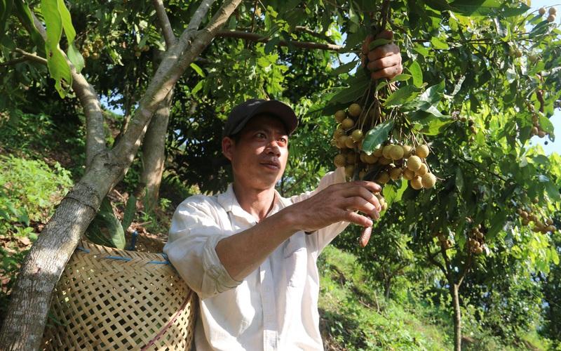 Yên Châu: Nhiều giải pháp giúp nông dân vươn lên làm giàu