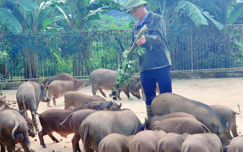 Nuôi lợn rừng bằng dược liệu, cán bộ xã thu tiền tỷ mỗi năm
