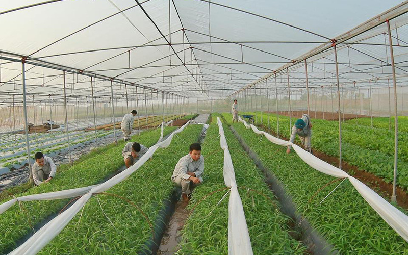 """5 """"hot boy"""" Phố Hiến trồng rau sạch theo công nghệ Nhật"""