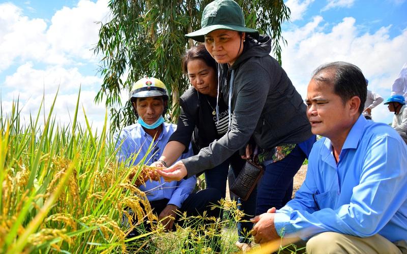 Kiên Giang: Trồng lúa làm ra thứ gạo sạch xuất khẩu, 15 công ty tìm đến thu mua