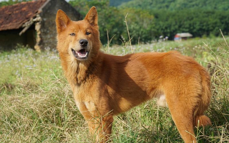 """Giống chó Lài bản địa - một trong """"Tứ đại Quốc khuyển"""" của Việt Nam"""