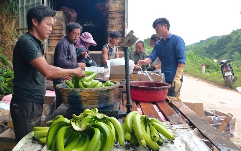 """Lào Cai: Trung Quốc dừng nhập, giá chuối ở đây """"chạm đáy"""" chỉ còn 2.000 đồng/kg"""