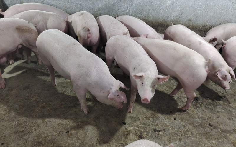 KDI Holdings chi 2.000 tỷ đồng xây dựng trang trại nuôi lợn công nghệ cao