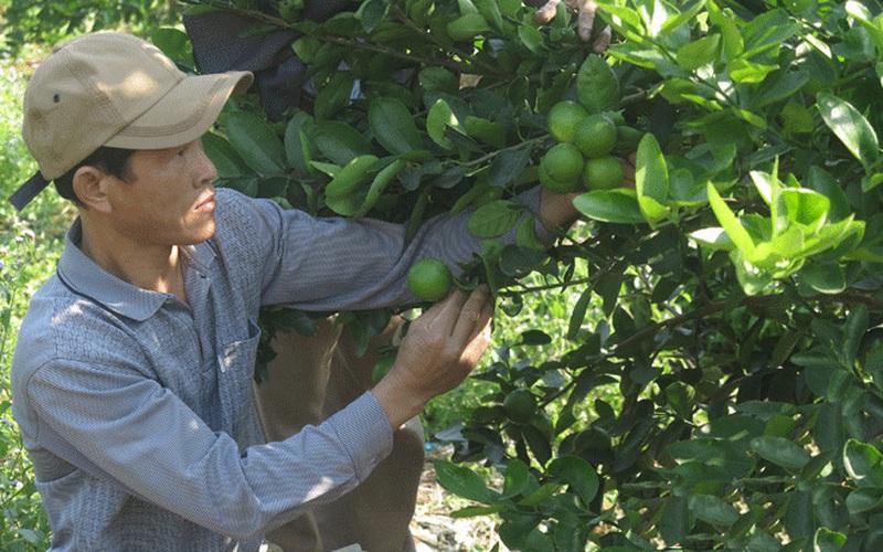 Nghệ An: Trồng chanh không hạt, bán giá 20.000-30.000 đồng/kg, nhiều hộ giàu lên