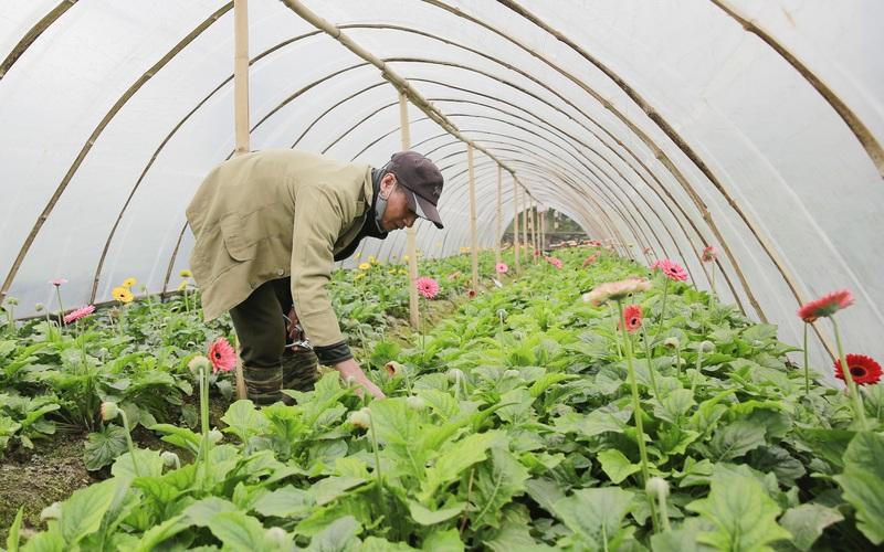 Người trồng hoa Tây Tựu lạc quan trước thời tiết giá lạnh