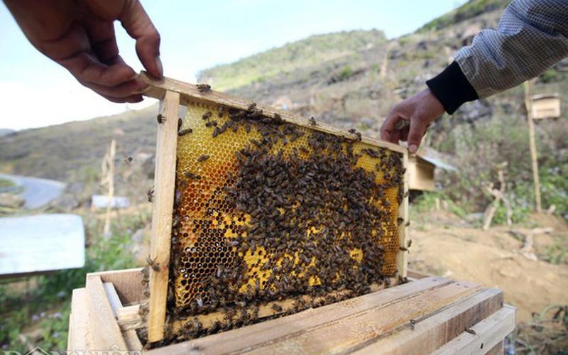Nuôi ong lấy mật trên cao nguyên đá, hộ nghèo tăng thu nhập